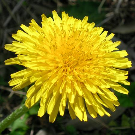 春の野草・タンポポで超健康にな...