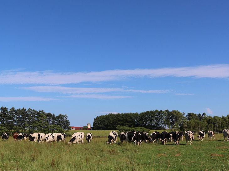 幸せそうに牧草を食む小栗牧場の牛たち。人が近づいても全く動じないのは、経営主との関係性を反映している