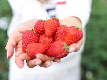 茨城のイチゴ農園「かわらけや」のイチゴ狩りが人気の理由とは?