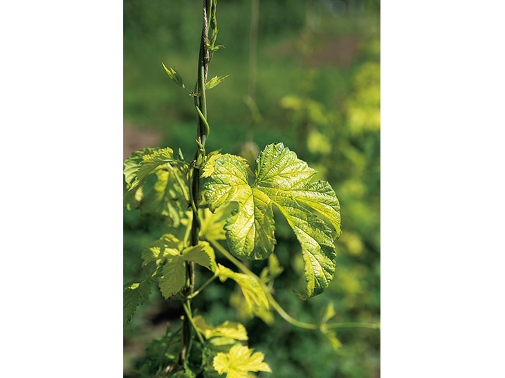 黄色い葉が美しい「かいこがね」。柑橘系の香りが特徴のアロマホップ