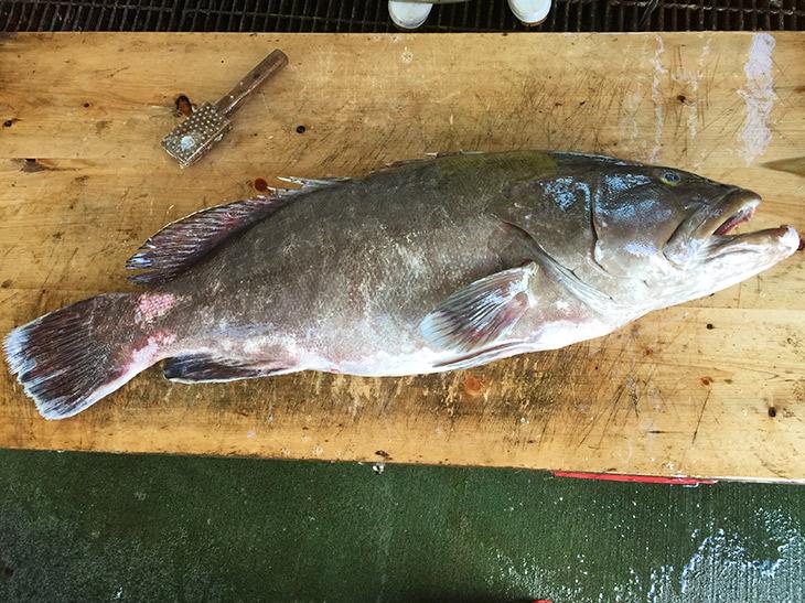 クエはスズキ目ハタ科に属する海水魚。大きなものになると体長1m・重さ30kgを超える個体も。天然ものは希少で、都内のお店などでいただけるのはほとんどが養殖もの