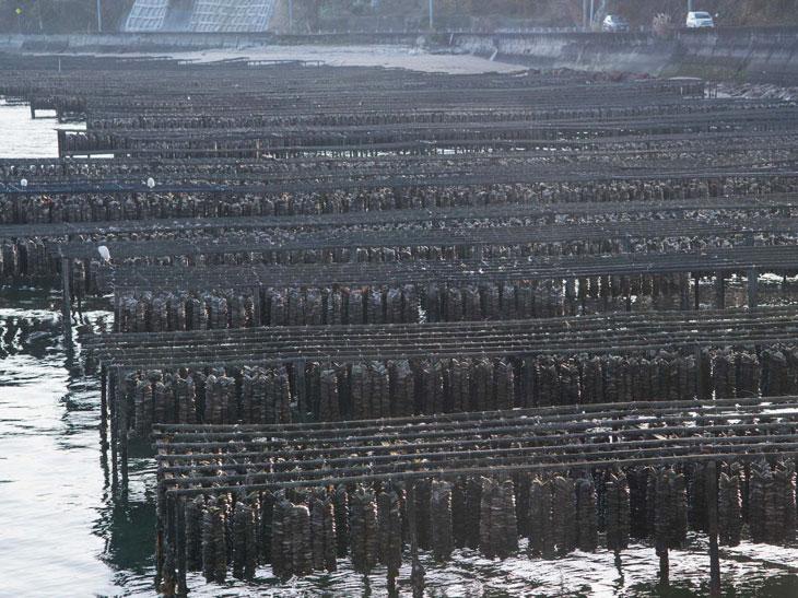 牡蠣の養殖の様子。浅瀬に作った棚で、潮の満ち引きを利用して牡蠣を育成する