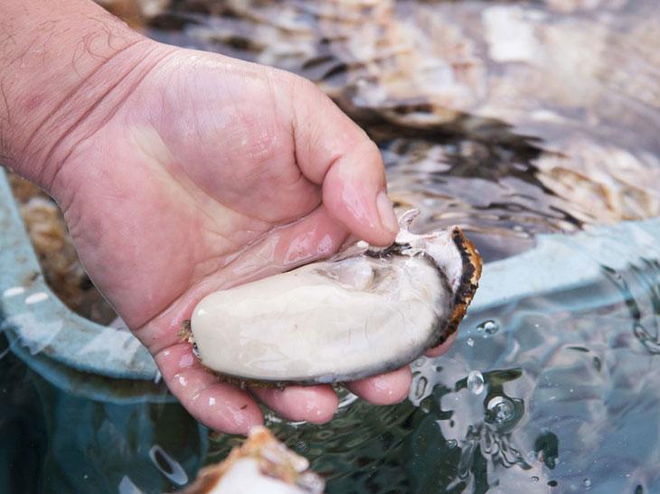 牡蠣の成長を確認し、11月頃から段階的に水揚げ。『さぼてん』の「カキフライ」の牡蠣は、2~5月頃に水揚げされた身の入りが良いもので、しかも大きさにこだわって、選りすぐって使用しているのが特徴