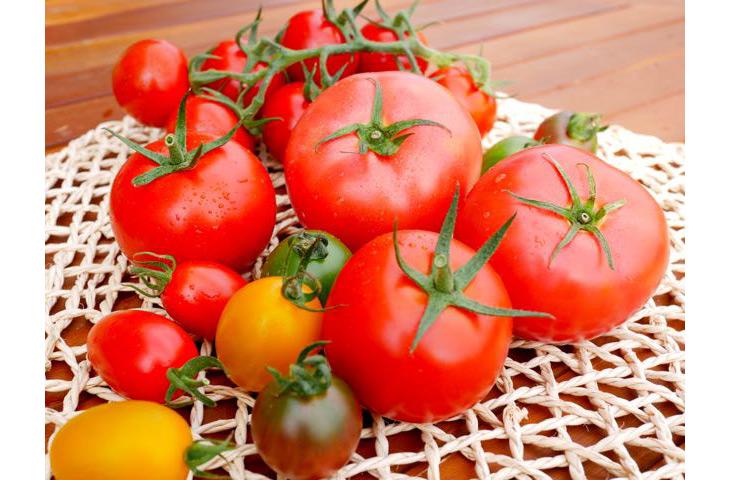 多彩な種類のトマトを栽培