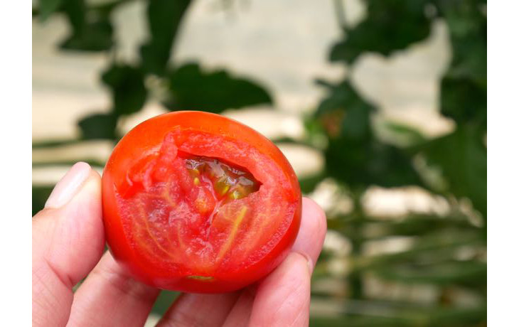 もぎたての中玉のトマト。しっかりした果肉からほとばしる果汁!