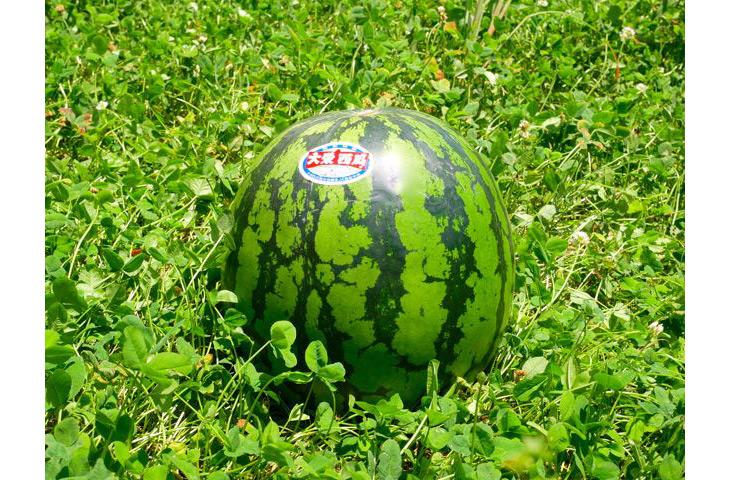 約8kgの大玉な「大栄西瓜」
