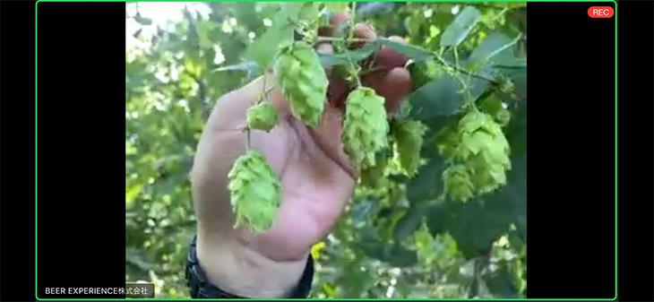 収穫前のホップを見たのは初めて。これを葉茎と毬花に分離して、毬花を乾燥させてビールの原材料にする