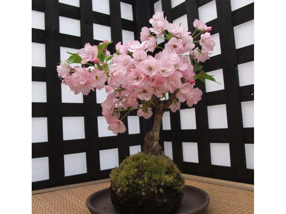 桜の盆栽。盆栽は通販などでも購入可能