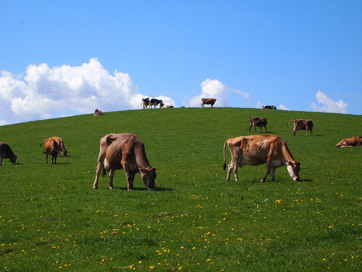 丸の内のブラッスリー『VIRON』の代表・西川氏が経営する「美瑛放牧酪農場」。4種類の牛たちがのびのびと暮らし、そのノンストレスの牛たちから絞った生乳は、隣接する加工プラントで新鮮なうちに乳製品に加工されます